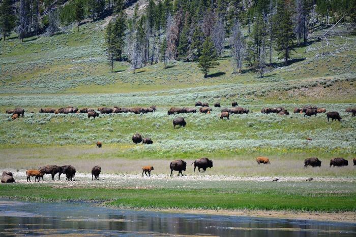 herds of Bison