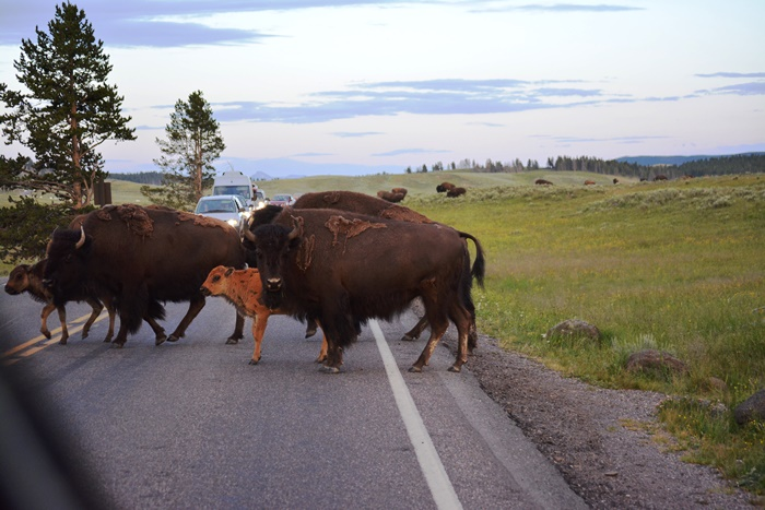 """The """"bison-jam"""""""